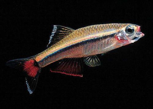 Рыба-Кардинал