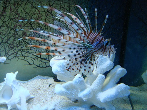 Рыба-скорпион